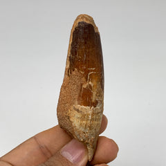 "42g, 3.3""X1""x 0.9"", Rare Natural Fossils Spinosaurus Tooth from Morocco, F3217"