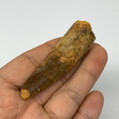 "21.1g, 2.7""X0.8""x 0.6"", Rare Natural Fossils Spinosaurus Tooth from Morocco, F32"