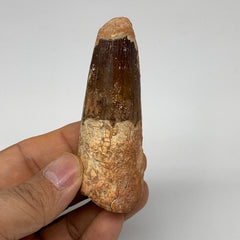 "52.5g, 3.1""X1.1""x 0.9"", Rare Natural Fossils Spinosaurus Tooth from Morocco, F32"