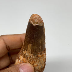 "61.5g, 3.8""X1.4""x 0.9"", Rare Natural Fossils Spinosaurus Tooth from Morocco, F32"