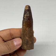 "38.8g, 3.1""X0.9""x 0.8"", Rare Natural Fossils Spinosaurus Tooth from Morocco, F32"