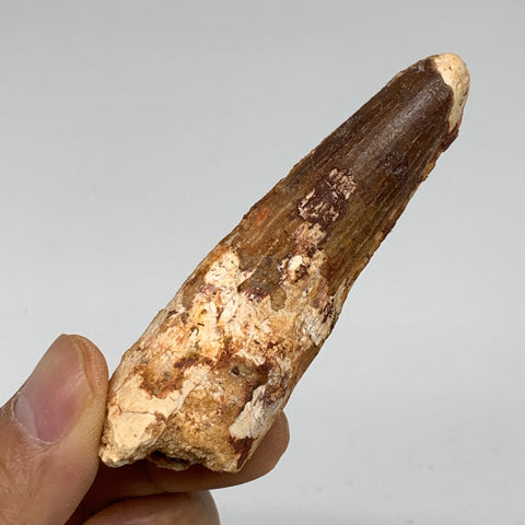 "27.9g, 3""X0.9""x 0.6"", Rare Natural Fossils Spinosaurus Tooth from Morocco, F3239"