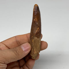 "26.6g, 3.5""X0.7""x 0.6"", Rare Natural Fossils Spinosaurus Tooth from Morocco, F32"