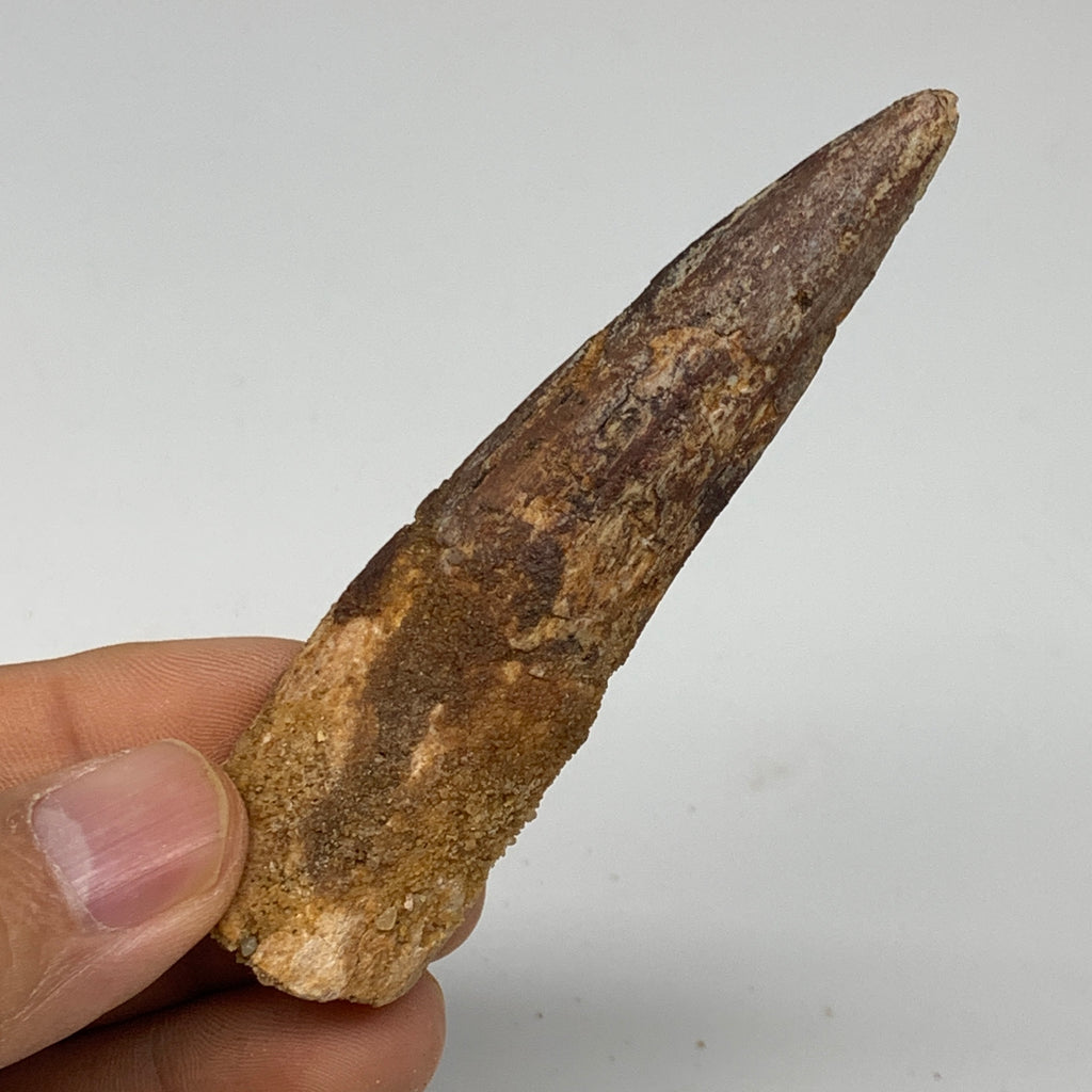 "28.2g, 3.5""X0.9""x 0.7"", Rare Natural Fossils Spinosaurus Tooth from Morocco, F32"