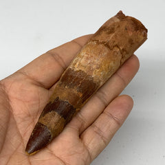"64.6g, 4.5""X1.1""x 0.9"", Rare Natural Fossils Spinosaurus Tooth from Morocco, F32"