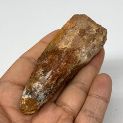 "60.7g, 3.2""X1.2""x 1"", Rare Natural Fossils Spinosaurus Tooth from Morocco, F3249"