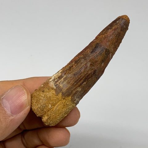 "32g, 2.9""X0.9""x 0.8"", Rare Natural Fossils Spinosaurus Tooth from Morocco, F3252"