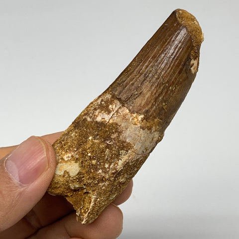 "45.5g, 3""X1.1""x 0.8"", Rare Natural Fossils Spinosaurus Tooth from Morocco, F3253"