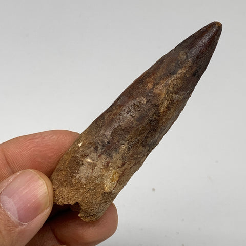 "25.1g, 3""X0.8""x 0.6"", Rare Natural Fossils Spinosaurus Tooth from Morocco, F3255"