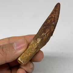 "25.4g, 3.1""X0.7""x 0.6"", Rare Natural Fossils Spinosaurus Tooth from Morocco, F32"