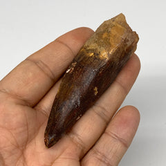"36g, 3.2""X0.9""x 0.8"", Rare Natural Fossils Spinosaurus Tooth from Morocco, F3258"