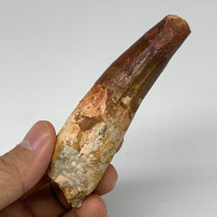 "59.4g, 3.7""X1.1""x 0.9"", Rare Natural Fossils Spinosaurus Tooth from Morocco, F32"