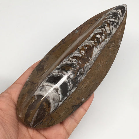 "318.1g, 6.3""x2.4""x1.2"" Fossils Orthoceras (straight horn) SQUID @Morocco,MF2271"