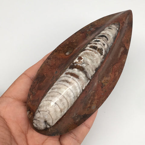 "236.9g, 5.1""x2.3""x1.3"" Fossils Orthoceras (straight horn) SQUID @Morocco,MF2292"