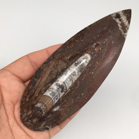"153.5g, 5.5""x2""x0.9"" Fossils Orthoceras (straight horn) SQUID @Morocco,MF2302"