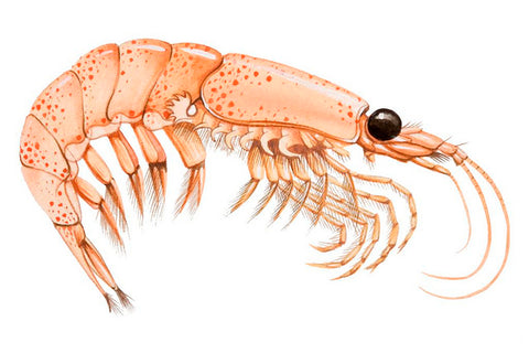 Illustration of a krill
