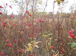 Wild Rosehips - Plentiful on the Prairies