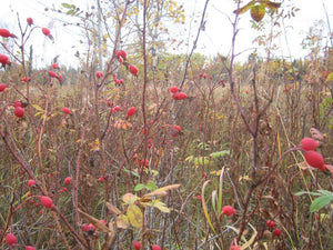 Rosehips - a gem of the prairies!