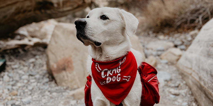 best gifts for rock climbers who love dogs - golden retriever with red crag dog bandana