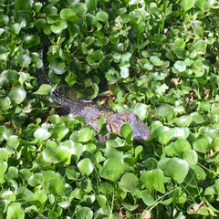 Tiny alligator seen during our swamp tour