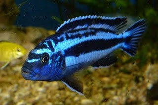 Assorted African Cichlid