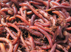 Redworms 50 count