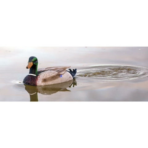 OUTDOOR OUTFITTERS PREMIER MAGNUM SWIMMER MALLARD DUCK DECOY