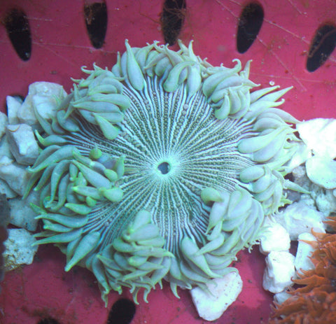Caribbean White Zebra Rock Flower Anemone -  - House of Sticks -  House of Sticks - 1