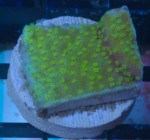 Nuclear Green Montipora -  - House of Sticks -  House of Sticks - 1