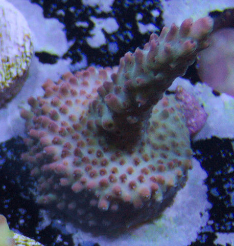 UC Cotton Candy Acropora -  - House of Sticks -  House of Sticks