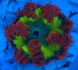Caribbean Ultra Grade Rock Flower Anemone -  - House of Sticks -  House of Sticks - 1