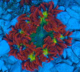 Caribbean Ultra Grade Rock Flower Anemone -  - House of Sticks -  House of Sticks - 2