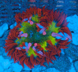 Caribbean Ultra Grade Rock Flower Anemone -  - House of Sticks -  House of Sticks - 3