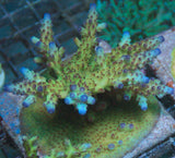 JF Iceburg Acropora -  - Jason Fox -  House of Sticks - 2