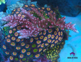 CR Strawberry Fields Acropora -  - House of Sticks -  House of Sticks - 2