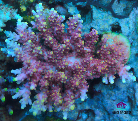 UC Pink Bali Shortcake Acropora -  - House of Sticks -  House of Sticks - 1