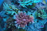UC Pink Bali Shortcake Acropora -  - House of Sticks -  House of Sticks - 2