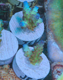 JF Iceburg Acropora -  - Jason Fox -  House of Sticks - 3