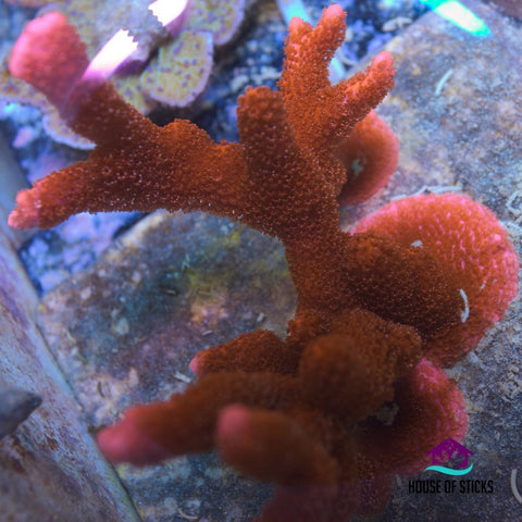 Bright Red Montipora Digitata -  - House of Sticks -  House of Sticks - 1