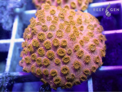 ReefGen Rose Gold Cyphastrea -  - Reefgen -  House of Sticks
