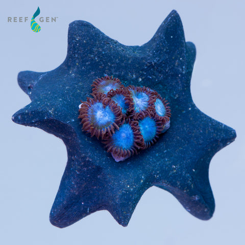 ReefGen Tubs Blue Zoas -  - Reefgen -  House of Sticks