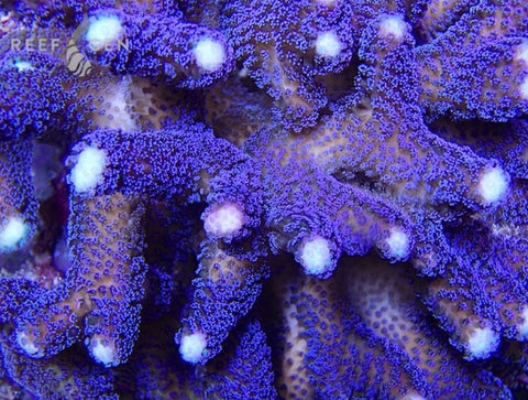 ReefGen SanJoe's Purple Milka Stylophora -  - Reefgen -  House of Sticks - 1
