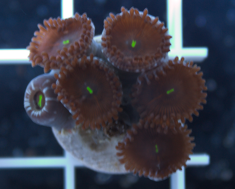 Red People Eater Zoanthids -  - House of Sticks -  House of Sticks