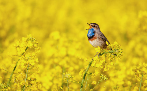 bird singing in a field