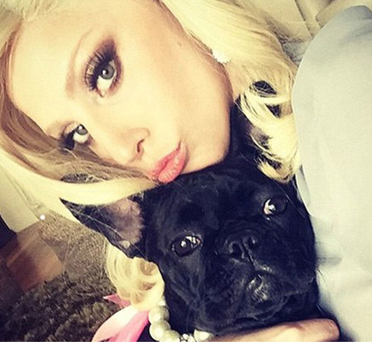 Gaga's Frenchie has Beverly Hills style