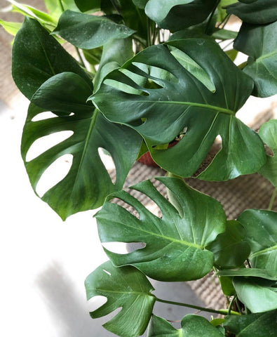 "Awesome XL Monstera 8"" pot"