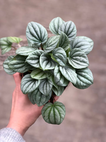 Peperomia Frost Emerald