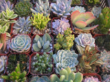 Assorted Mini Succulents Pack