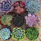 Assorted Medium Succulents Pack