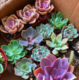 Rosette Mini Succulents Pack
